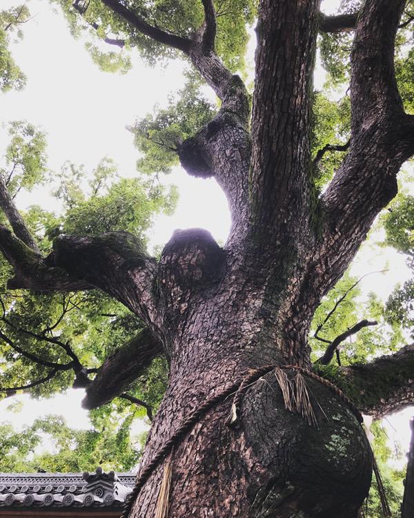 樹齢千年大くすの木
